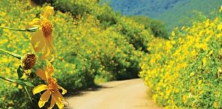 Vẻ đẹp làm tan chảy trái tim người xem của hoa dã quỳ