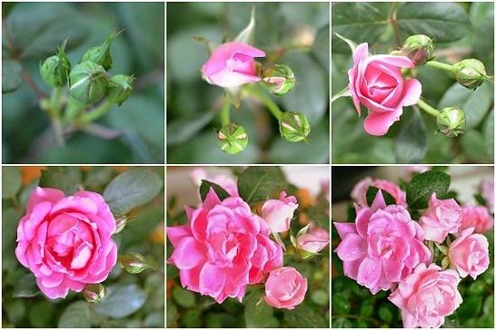 Cách trồng hoa hồng bằng khoai tây tưởng đùa mà thật 12