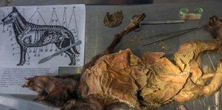 Phát hiện xác ướp chú chó 12.000 năm tuổi vẫn còn nguyên nội tạng