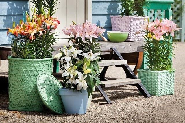 Chăm sóc hoa ly nở đẹp và bền suốt Tết Bính Thân
