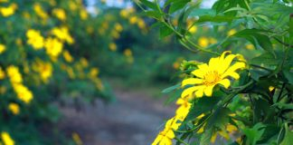 Rủ nhau lên Ba Vì ngắm hoa dã quỳ giá cực rẻ