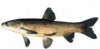 Canh cá om dưa