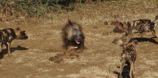 Kinh hãi cuộc chiến đẫm máu giữa linh cẩu và bầy chó hoang