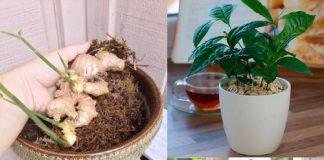 Top những cây thuốc quý không thể không trồng trong nhà