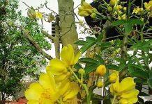 Cây huỳnh hoa