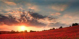 Đến Anh ngắm cánh đồng hoa giai nhân đỏ