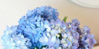 Mẹo giữ hoa cẩm tú cầu tươi lâu - 1