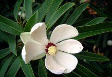 Tìm hiểu về cây vàng tâm - loại cây thay cho 6.700 cây xanh ở Hà Nội - 1