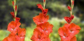 Sự tích ý nghĩa của hoa lay ơn mỏng manh đầy sức sống - 1