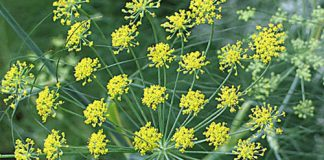 Chữa rối loạn tiêu hóa bằng thảo dược, Sức khỏe, ron loan tieu hoa, chua roi loan tieu hoa, thao duoc, tieu hoa, suc khoe, bao phu nu,