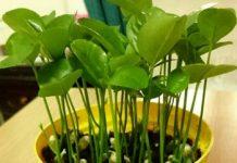Cách trồng chanh, trồng cam từ hạt để làm cảnh trong nhà