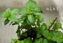 Cách trồng cây bạc hà tiện lợi 'một công đôi ba việc'
