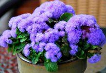 3 loài hoa đẹp đuổi muỗi 'cực đỉnh' - 1