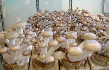 Cách trồng nấm sạch lớn nhanh vùn vụt bằng bã cà phê và mùn cưa