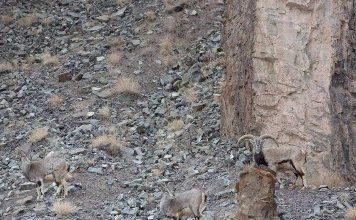 Sát thủ tàng hình vồ cừu hoang trên dãy Himalaya