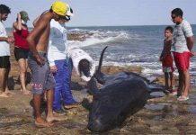 30 cá heo mắc cạn ở Brazil