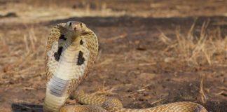 Cách phân biệt rắn độc và rắn không độc