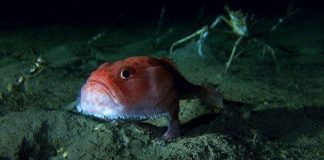 Loài cá đi bộ ở độ sâu hơn 3.000 mét dưới đáy biển