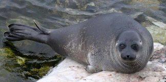 Bí ẩn 130 con hải cẩu chết hàng loạt ở hồ nước sâu nhất thế giới