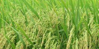 Lúa hoang giúp giải quyết việc thiếu lương thực