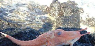 """Cá biển """"bọc thép"""" quý hiếm sa lưới ngư dân"""