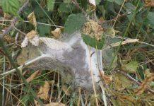Hàng triệu con sâu gây mù lòa tấn công ngôi làng Anh