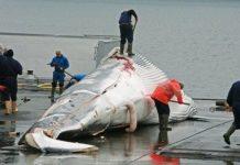 Vì sao người Nhật Bản cứ đi đánh bắt cá voi về ăn?