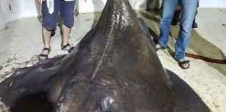 Cá đuối khổng lồ đẻ non vì sợ người