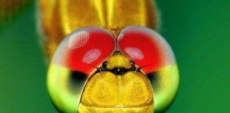 Loài côn trùng có tầm nhìn tốt nhất trong giới động vật