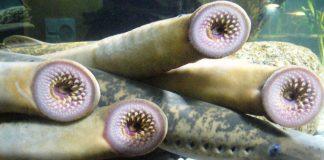 Cá hút máu tàn sát sinh vật bản địa ở vùng hồ Mỹ