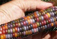 Cách tạo ra ngô có màu sắc như cầu vồng