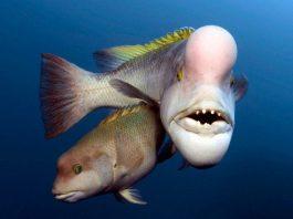 Cá mặt người cái chuyển giới lấn át cá đực