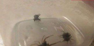 Cận cảnh cơ chế tự vệ dị thường của nhện