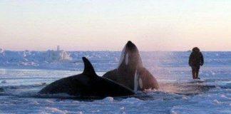 Canada: Chạy đua cứu cá voi mắc kẹt trong băng
