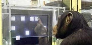 Khỉ khôn hơn người?