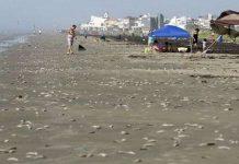 Cá chết hàng loạt suốt dọc bờ biển của Vịnh Mexico