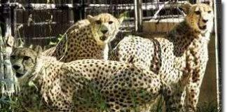 Phần lớn thú nuôi nhốt bị chết khi được trả về tự nhiên